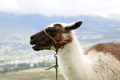 Lama ecuadoriana Immagini Stock Libere da Diritti