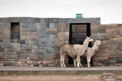 Lama ed alpaga sulla via di Cusco Fotografia Stock