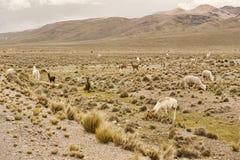 Lama ed alpaga in un campo Immagine Stock
