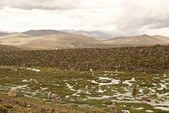 Lama ed alpaga in un campo Immagini Stock