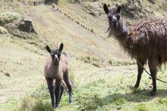 Lama ed il suo vitello che affrontano in avanti Immagine Stock