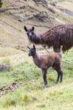 Lama ed il suo vitello che affrontano in avanti Fotografia Stock
