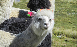 Lama in een kudde stock fotografie