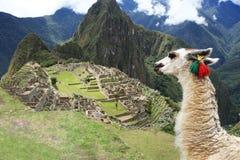 Lama em cidade perdida de Machu Picchu - Peru fotografia de stock