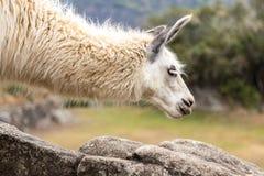 Lama em Machu Picchu, Cusco, Peru, Ámérica do Sul imagem de stock royalty free