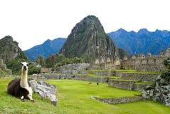Lama em Machu Picchu, Peru imagem de stock royalty free