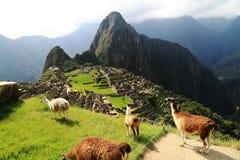 Lama em Machu Picchu, Peru foto de stock