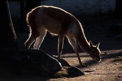 Lama em uma luz do contorno, um animal gracioso iluminado pelo fotografia de stock