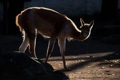 Lama em uma luz do contorno, um animal gracioso iluminado pelo fotografia de stock royalty free