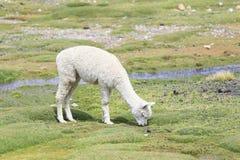 Lama en Alpaca, Peru Royalty-vrije Stock Afbeelding
