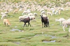 Lama en Alpaca, Peru Stock Afbeeldingen