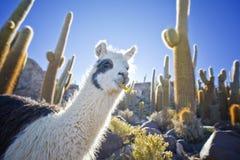 Lama en Bolivia Imagen de archivo