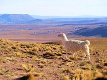 Lama en el altiplano Foto de archivo libre de regalías