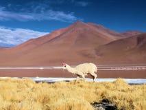 Lama en el altiplano imagen de archivo