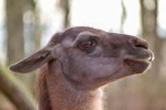 Lama en el parque zoológico Foto de archivo libre de regalías