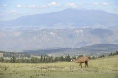 Lama en Latijns-Amerikaanse schilderachtige bergmening Stock Afbeelding
