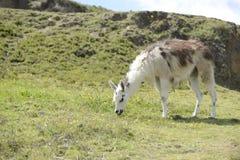 Lama en Latijns-Amerikaanse schilderachtige bergmening Stock Fotografie
