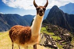 Lama en Machu Picchu, ruinas de los incas en los peruvian Fotos de archivo libres de regalías