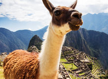 Lama en Machu Picchu, ruinas de los incas en los peruvian Fotos de archivo