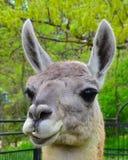 Lama en parque zoológico Fotos de archivo