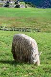Lama en Sacsayhuaman en Cuzco, Perú Foto de archivo libre de regalías