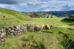 Lama en Sacsayhuaman en Cuzco, Perú Imagen de archivo