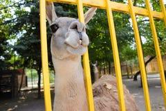 Lama en un parque zoológico crimea Verano Imagen de archivo libre de regalías