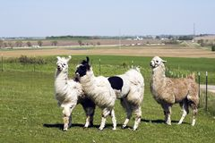 Lama farm Royalty Free Stock Images
