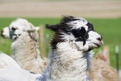Lama farm Stock Images