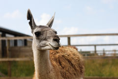 Lama on the farm Stock Photography