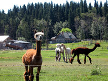A lama farm in alaska. Royalty Free Stock Photography