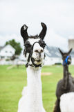 Lama in farm Stock Image