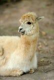Lama on farm Stock Images