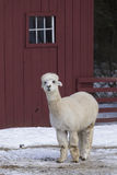 Lama on a farm Royalty Free Stock Photography