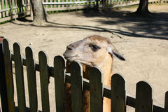 Lama at the fence at the zoo Stock Photography