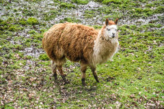 Lama in the Field Royalty Free Stock Images