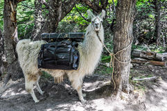 Lama, Fitz Roy, El Chalten, Argentina Royalty Free Stock Photos