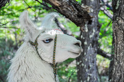 Lama, Fitz Roy, El Chalten, Argentina Royalty Free Stock Photography