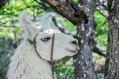 Lama, Fitz Roy, El Chalten, Argentina Royalty Free Stock Photography