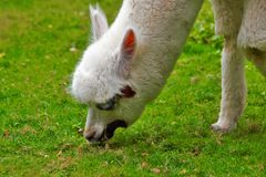 Lama frôlant dans le zoo à Augsbourg en Bavière images stock