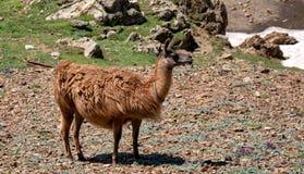 Lama frôlant dans les montagnes françaises Photographie stock libre de droits