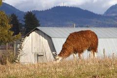 Lama frôlant dans la campagne rurale Images stock