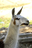 A Lama in a French farm Stock Photography