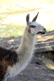 A Lama in a French farm Royalty Free Stock Image