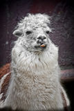 Lama. Funny and cute lama shows teeth Royalty Free Stock Photo