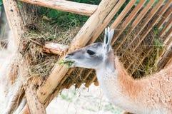 Lama funny eats hay Royalty Free Stock Photography