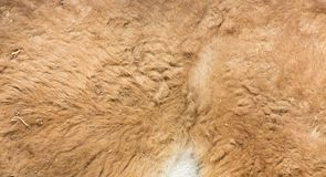 Lama fur as background. Photo of an abstract texture Stock Images