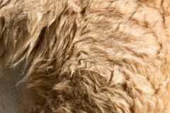 Lama fur as background. Photo of an abstract texture Royalty Free Stock Image