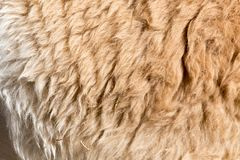 Lama fur as background. Photo of an abstract texture Stock Photos