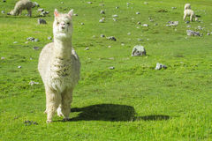 Lama. Furry llama on green meadow near the Andes snow capped peak Royalty Free Stock Images
